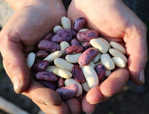 Bulbes et Semences du potager