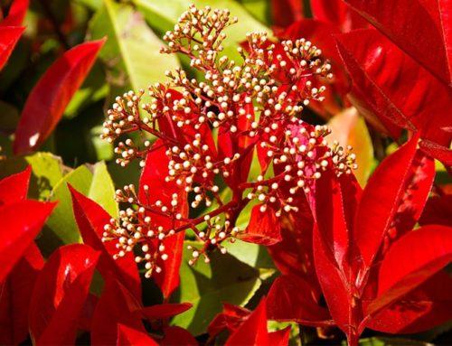 Les arbustes de haies à feuillages persistants